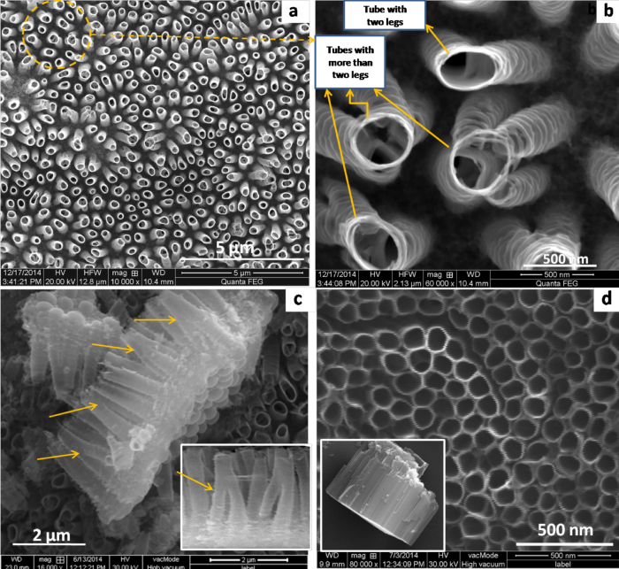 FESEM images of multi-leg TiO2 nanotubes large