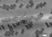 SEM image of graphene islands on copper from A A Pakhnevich et al 2015 J. Phys. D: Appl. Phys. 48 435303