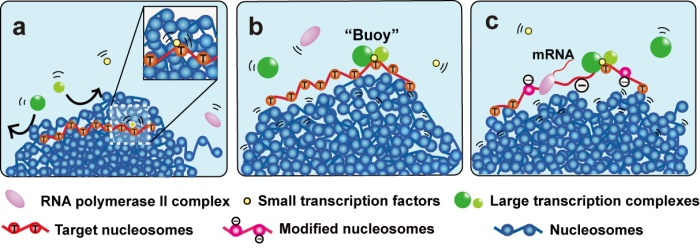 'Buoy' model for transcriptional regulation from Kazuhiro Maeshima et al 2015 J. Phys.: Condens. Matter 27 064116