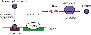 Illustration of gene expression in prokaryotic cells, from David Schnoerr et al 2017 J. Phys. A: Math. Theor. 50 093001