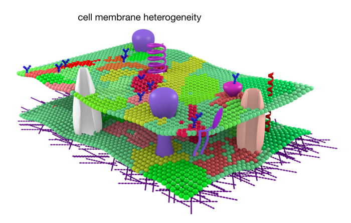 A cartoon showing the heterogeneous membrane structure, © Erdinc Sezgin