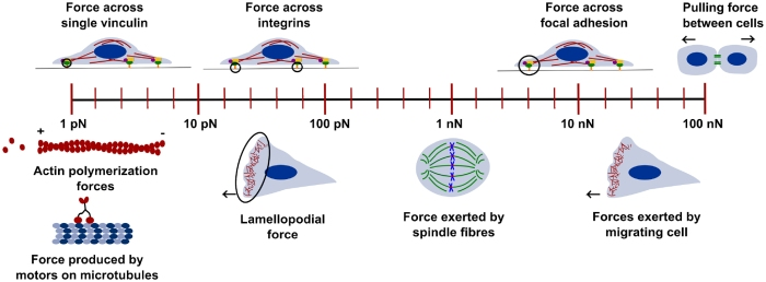 The forces involved in different processes in the cells range from few piconewtons to hundreds of nanonewtons. Image taken from Meenakshi Prabhuneet al2017J. Phys. D: Appl. Phys.50233001, © IOP Publishing, All Rights Reserved.